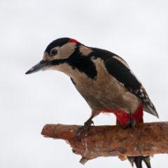 3633289_woodpecker